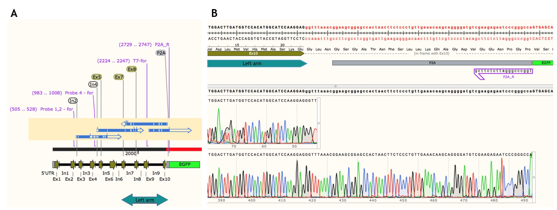 Successful Crispr Cas9 Mediated Homologous Recombination In A Hereis Diagramfor Constructing The Actual Probe Click Here To Access Data